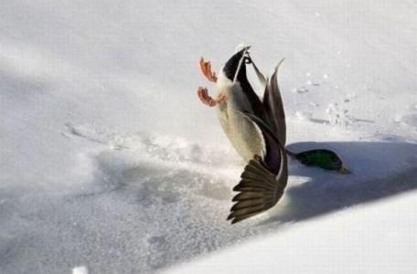 patito-aterrizando